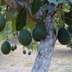organic avocados.. we have 35 or 40 trees (sharwil and yamagata's).